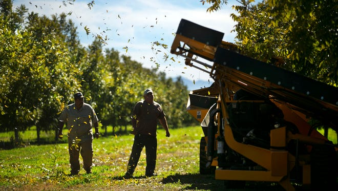 Farm workers Hector Vasquez (left) and Javier Vasquez watch while harvesting pecans at the pecan farm of Farmers Investment Co. in San Simon on November 11, 2015.