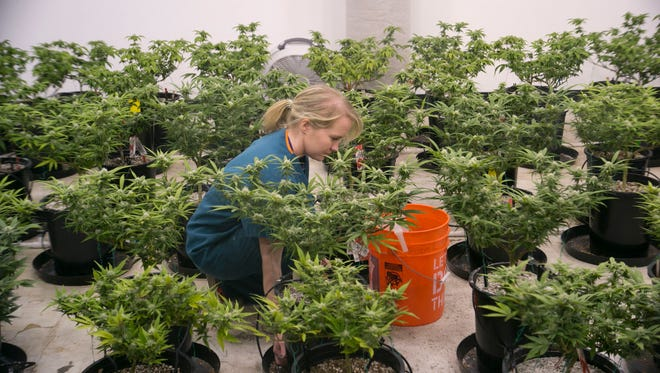 Kati Lindholm, a employee at Giving Tree Wellness Center, harvests a marijuana crop at the dispensary's facility in Phoenix.
