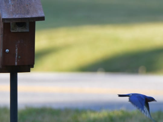 Blue birds depart the nesting box in search of food for their young.