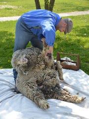 A sheep shearing presentation at the Wade House.