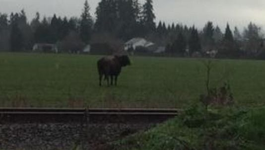 This bull was killed after getting loose in Cornelius.
