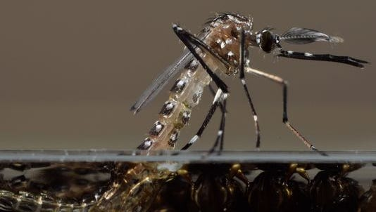 This photo made available by Oxitec shows a genetically modified Aedes aegypti mosquito in their U.K. lab.