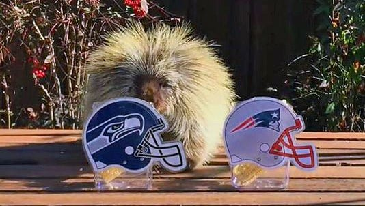 Teddy Bear the Porcupine gives his prediction for which team will win  Super Bowl XLIX.