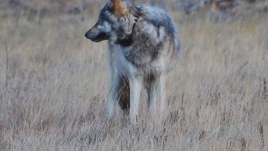 Gray wolf sighting in the Grand Canyon
