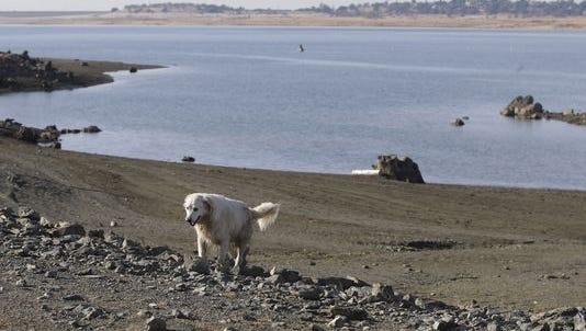 A dog walks along the receding shoreline of drought-stricken Folsom Lake near Folsom, Calif.