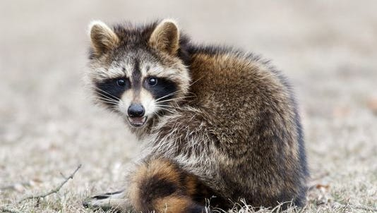 File: A raccoon removed from the yard of a Haddonfield home has tested positive for rabies.