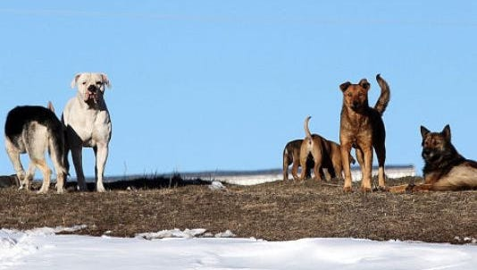 File photo: A pack of dogs stand on a hill outside of Pine Ridge. Dogs killed an 8-year-old girl near there in November, and dogs killed a woman on the Rosebud Indian Reservation last weekend.