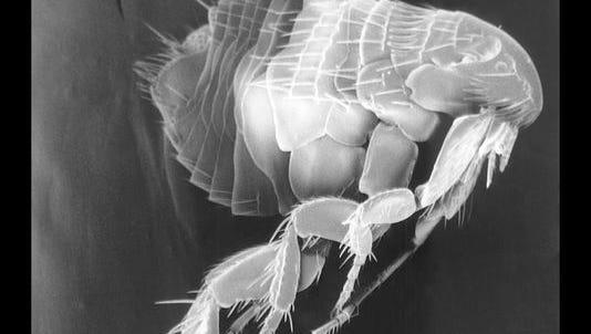 Fleas in Flagstaff were found to have the plague.