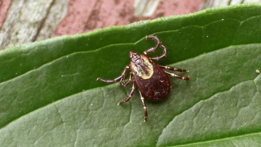 Pictured here is a female American dog tick. Ticks are external parasites and classified as ararachnids and are vectors of a slew of diseases that humans can contract upon being bitten. The blacklegged or deer tick as it is sometimes called is the most common carrier of Lyme disease. American dog ticks can transmit Rocky Mountain spotted fever if infected.