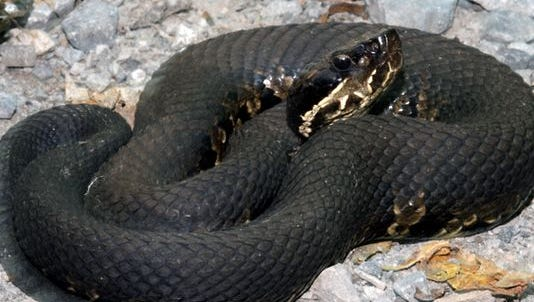 Venomous cottonmouth snakes are found in the southern third of Missouri, generally near lakes or streams.