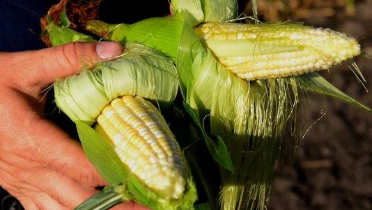 "A close up of two of the varieties of sweet corn the Reese's are growing on their in DeWitt Township. Wednesday, July 22, 2015, was ""opening day"" for the family's sweet corn operation."