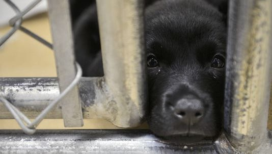 A black lab mix puppy named Thor rests his muzzle between the bars on his cage July 3 at the Tri-County Humane Society.