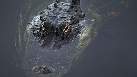 An alligator in the Arthur R. Marshall Loxahatchee National Wildlife Refuge in the Florida Everglades on May 1, 2013.