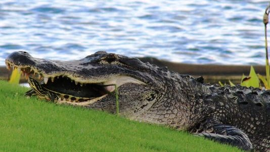 Gator has a turtle in its mouth on a golf course in Florida.
