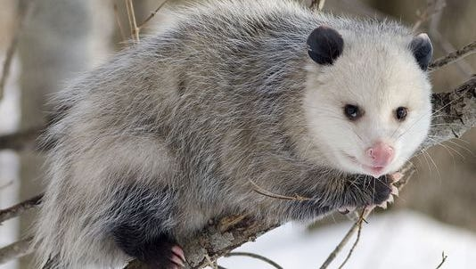 A live possum will be lowered in a box from a pole outside of a convenience store in North Carolina on New Year's Eve.
