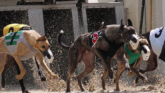 Greyhounds break from the starting box at Naples-Fort Myers Greyhound Track.  Teh facility says a state requirement that it run 3,200 races per year to keep poker room and simulcast wagering licenses costs $2 million per year in losses