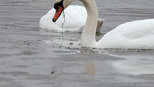 Mute swans in New York