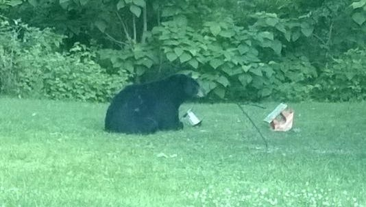 A photo of Indiana's black bear taken in July 2015.