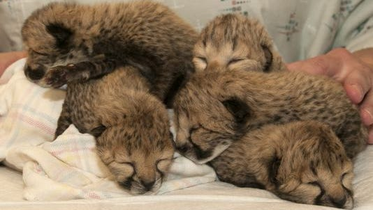 The five cheetah cubs born March 8.