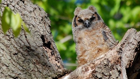 Celebrate Earth Day weekend by joining New Jersey Conservation Foundation for a moonlight owl walk beginning at 7 p.m. Thursday at the Bamboo Brook Outdoor Education Center, located at 170 Longview Road in Chester Township.Pictured here is a Great Horned Owl.