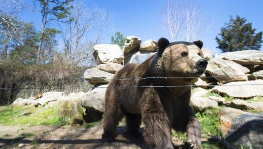 Nicolai, a European Brown Bear, in his sanctuary at Hollywild Animal Park on Wednesday, March 2, 2016.