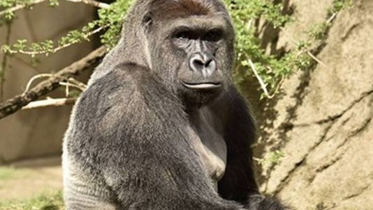 Harambe, the Cincinnati Zoo and Botanical Garden's newest gorilla, was put down after a 4-year-old child fell into his enclosure Saturday.