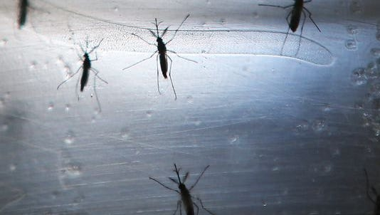 Mosquitoes that can carry the Zika virus are seen in a lab at the Fiocruz Institute on June 2, 2016, in Recife, Brazil.