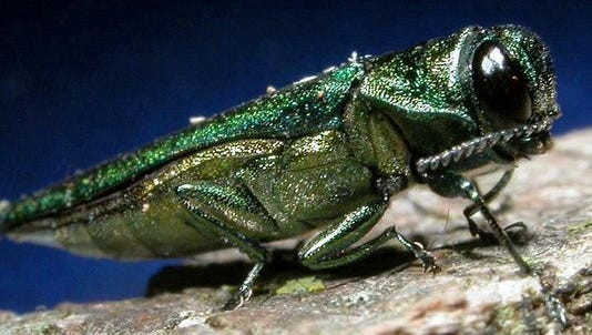 The emerald ash borer is predicted to kill 9 billion U.S. ash trees by 2019. The adult borer is a metallic, coppery-green color and 1/3 to 1/2 inch long.