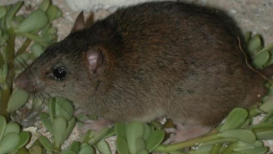 A Bramble Cay melomys in 2002.