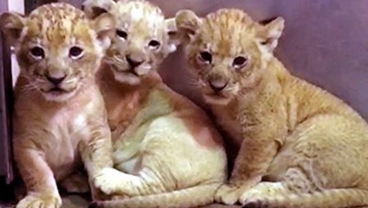 Three African lion cubs were born May 12 to Lusaka and Tiberius, a Rochester native.