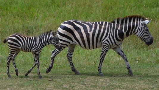Baby zebra Izzo follows his mom on the Wild Africa savanna at Binder Park Zoo on Friday.