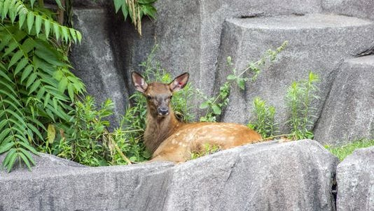 A female elk calf was born at the Milwaukee County Zoo June 22. The calf weighed about 40 pounds at birth
