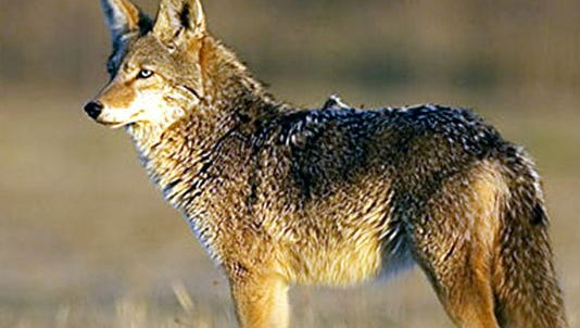 Biologists say that during the 30-year time span that coyotes have been documented in the state, their numbers have spread to all counties but seem to have stabilized after an initial boom.