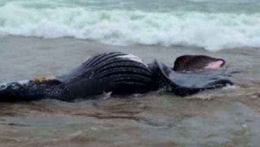 Humpback whale washed up near Cannon Beach.