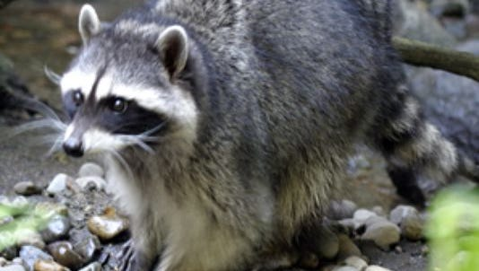 An East Asheville man was attacked by a rabid raccoon Wednesday, according to authorities.