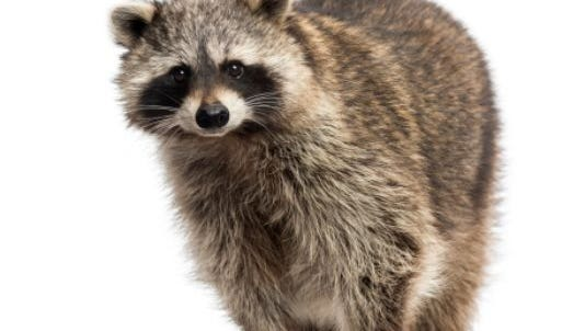 Two rabid raccoons were found in Medford Lakes recently.