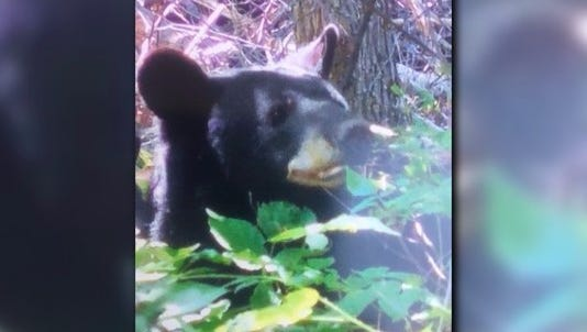 A picture of the bear that attacked a woman in Maryland.
