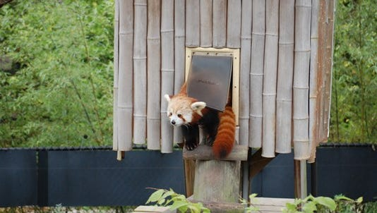 Sunny the red panda is missing from the zoo in  Norfolk.
