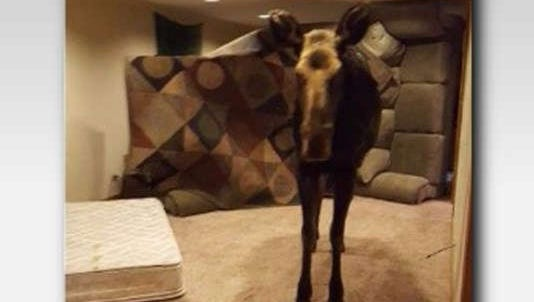 A homeowner got a surprise when a moose fell through a window well and into the basement of a Hailey home.