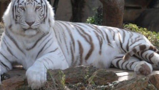 King Zulu, Audubon Zoo's white bengal tiger.
