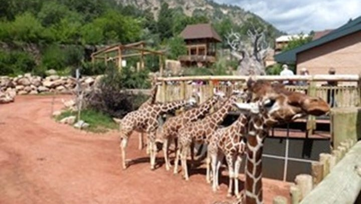 Watch: Two giraffe babies due in April at Cheyenne Mountain Zoo
