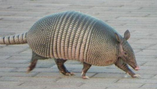 Armadillos aren't common in Arizona, but someday they might move up.