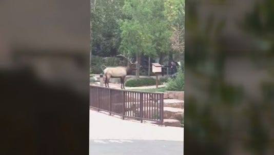 Colorado Parks and Wildlife says it had no choice but to kill an elk that had attacked two women in Estes Park last week.