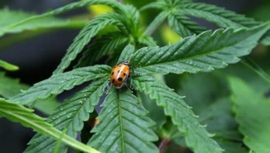 Image of marijuana plant with ladybug.
