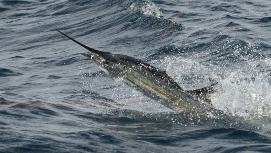 The sailfish bite has been very good off Fort Pierce this week.