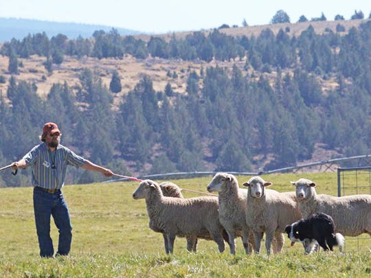 Ian Coldicott and Maxie corral sheep at Wolston Farms outside of Scio.
