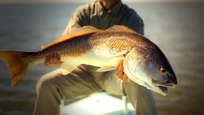 Video captures redfish smashing flies.