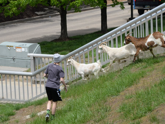 Goats make a break for it during the inaugural Covington