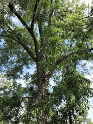 Pecan trees need maximum exposure to light to have