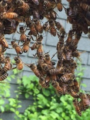 Honeybees building comb, measuring with their legs